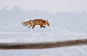 Fox at Focus
