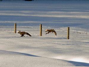 Fox Chasing Fox-1
