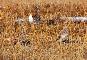 Sharp Tail Grouse