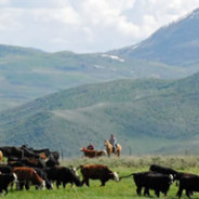 Spring Time And Cattle